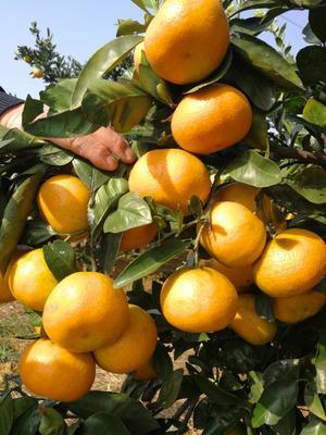 湖北宜昌黄岩蜜桔 6 - 6.5cm 1.5 - 2两 柑桔 温州蜜桔