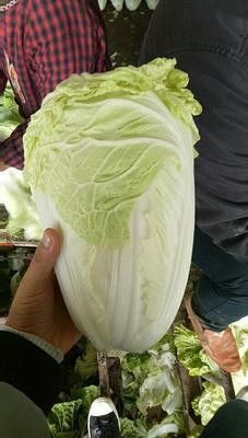 河南省开封市通许县夏阳白菜 2~3斤 净菜