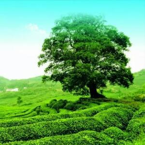 湖北襄樊保健茶 散装,