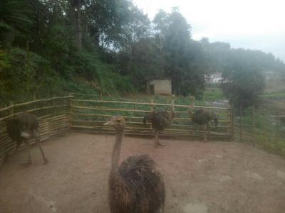 四川绵阳非洲鸵鸟