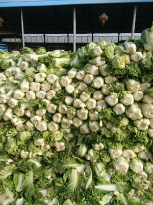 辽宁省葫芦岛市兴城市乾坤91-18白菜 6~10斤 二毛菜