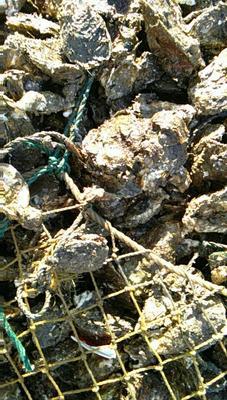 这是一张关于汫洲大蚝 10-15只/公斤 人工殖养的产品图片