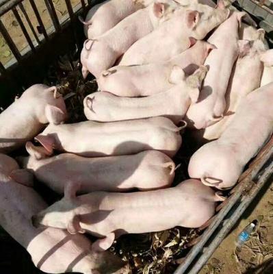 这是一张关于杜洛克仔猪的产品图片