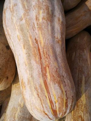 湖北荆州金韩蜜本南瓜 6~10斤 长条形