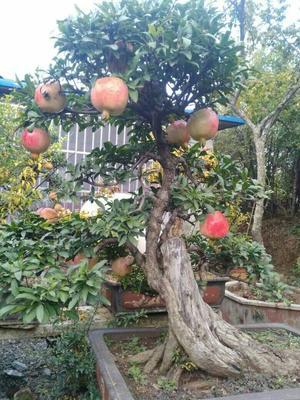 安徽蚌埠造型石榴树