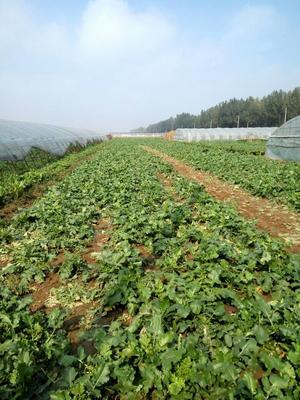 天津青皮绿萝卜 0.2~1斤