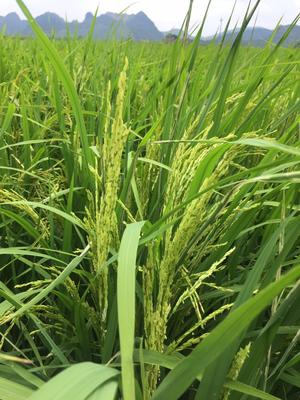 广东清远大米 一等品 早稻 有机大米