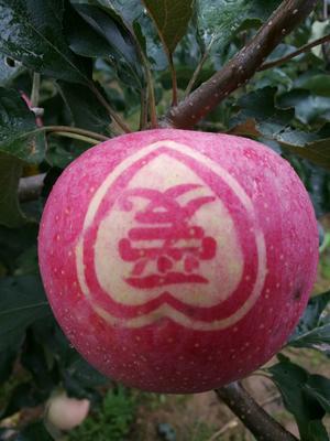 这是一张关于秦冠苹果 75mm以上 纸+膜袋 全红的产品图片