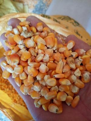云南文山玉米干粮 霉变≤2% 净货