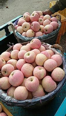 这是一张关于红富士苹果 膜袋 片红 75mm以上 红富士苹果哪里便宜,山东苹果批发什么价格的产品图片