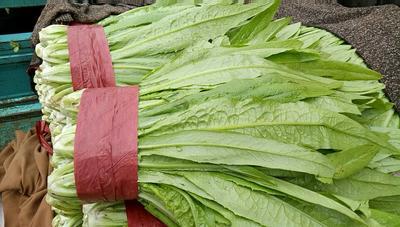 河北邯郸纯香油麦菜 15~20cm以上