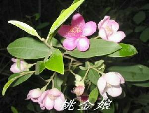 广西钦州扁桃树苗 0.5米以下