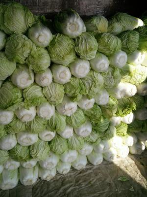 这是一张关于青杂三号白菜 3~6斤 净菜的产品图片