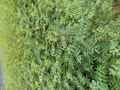 这是一张关于大红袍花椒苗的产品图片