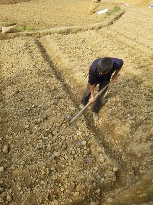 这是一张关于紫玉淮山山药 70~90cm的产品图片