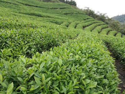 贵州遵义绿茶 袋装 正安灵关翠芽毛峰香茶,炒青等。