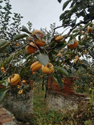天津磨盘柿子 4 - 5两以上