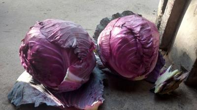 河北省邯郸市肥乡县紫甘蓝 2.5~3.0斤