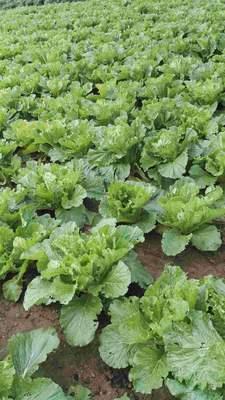 这是一张关于丰抗78大白菜 6~10斤 毛菜的产品图片