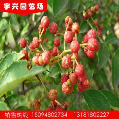 这是一张关于泰山花椒苗 花椒苗的产品图片