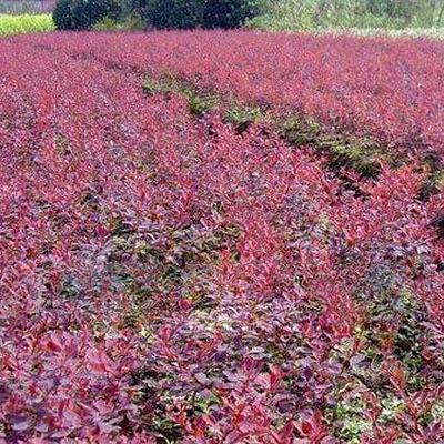 山东泰安红叶小檗 红叶小檗苗