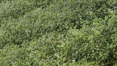 四川宜宾油樟苗子