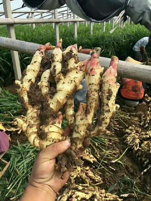 这是一张关于小黄姜 5两以上 带土的产品图片