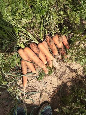 这是一张关于三红胡萝卜 3~4cm 10~15cm 2两以上的产品图片