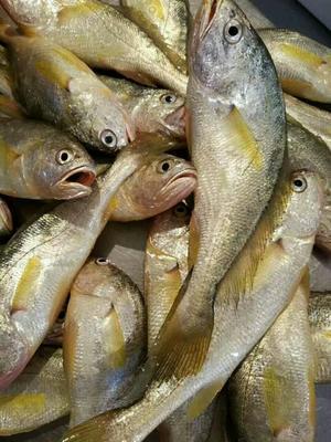 福建漳州小黄鱼 野生 0.5公斤以下