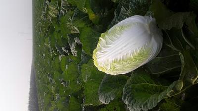河北唐山黄心大白菜 3~6斤 净菜
