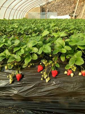 这是一张关于红颜草莓 50克以上的产品图片