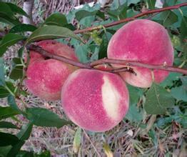 山东青岛金秋红密桃 70mm以上 4两以上