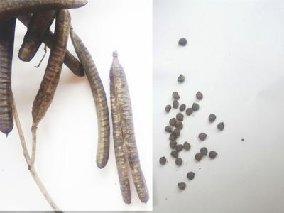 这是一张关于其它全草类 中药草 金谷豆药材舒筋活络的产品图片