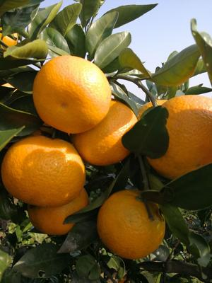这是一张关于黄橘子 5.5 - 6cm 2 - 3两的产品图片