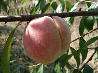 山东潍坊昌乐县毛桃 70mm以上 5两以上 映霜红甜桃