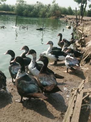 这是一张关于番鸭 5-6斤 母的产品图片