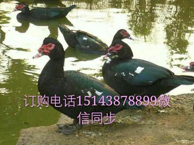 吉林白城美洲雁
