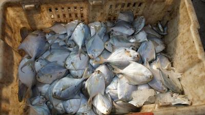 山东潍坊银鲳鱼 野生 0.5公斤以下