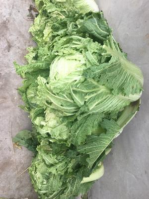 辽宁省沈阳市新民市91-12白菜 3~6斤 二毛菜