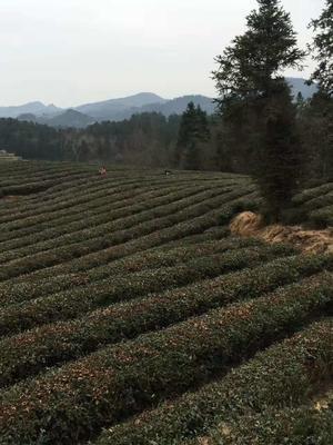 贵州铜仁石阡苔茶 盒装