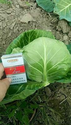 河北省唐山市滦南县8398甘蓝 1.5~2.0斤