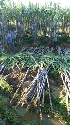 这是一张关于黑蔗 4 - 5cm 2.5 - 3m的产品图片