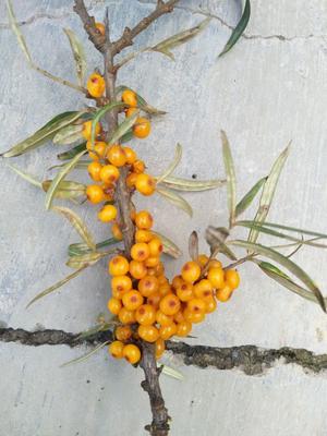 甘肃兰州沙棘果 橙黄色