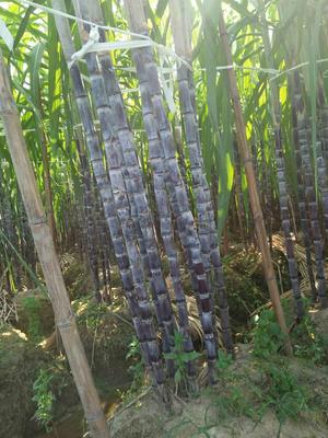 这是一张关于黑皮甘蔗 6 - 8cm 3m以上的产品图片