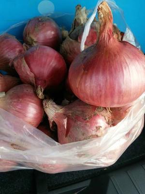 山东济宁红皮洋葱 8cm以上 3.5~4两 二红