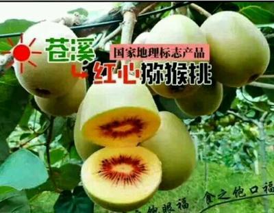 四川广元苍溪红心猕猴桃苗 嫁接苗