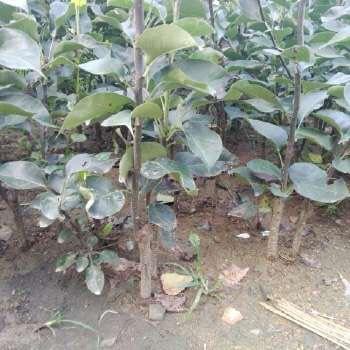 这是一张关于红富士苹果苗 0.5~1米的产品图片