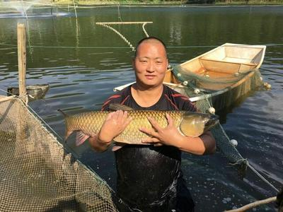 这是一张关于池塘草鱼 1.5-3.5公斤 人工养殖 需要货的塘边价的产品图片