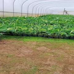 自产自销, 红蕉苗,香蕉苗,西贡蕉苗,粉蕉苗,各种果树苗。