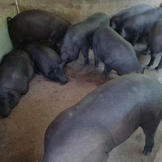 黑豬  長期有貨,有心合作就加我,貨源多多